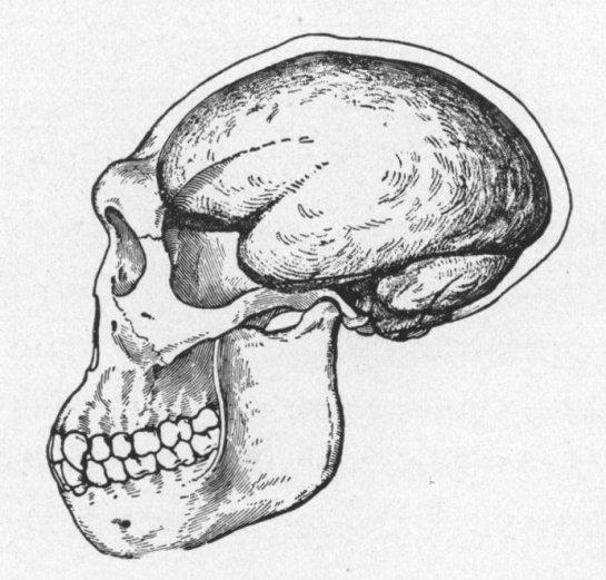 5 Pithecanthropus Erectus